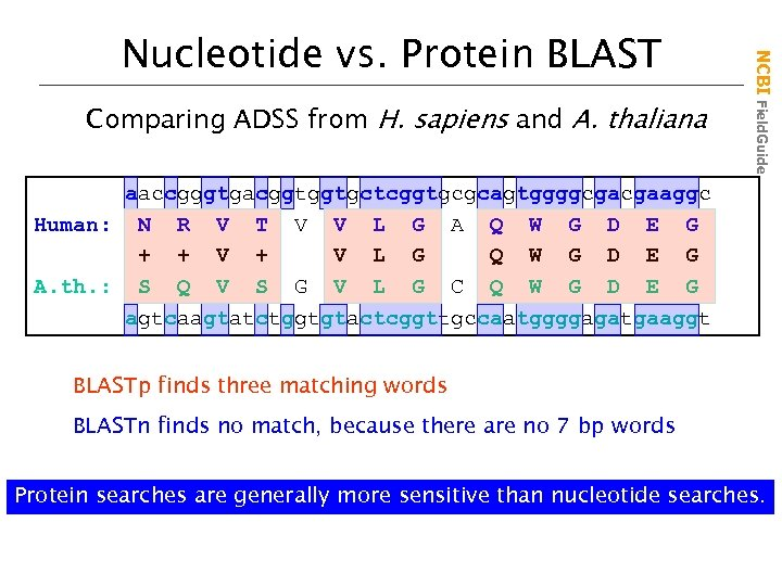 Comparing ADSS from H. sapiens and A. thaliana NCBI Field. Guide Nucleotide vs. Protein