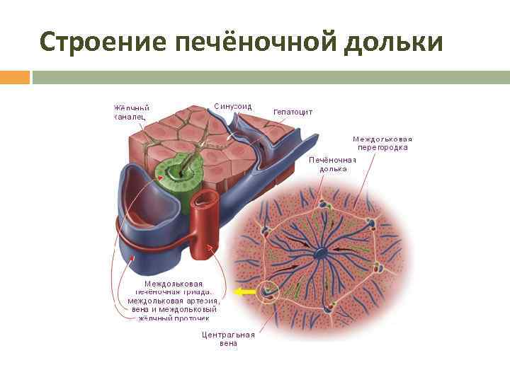 Строение печёночной дольки