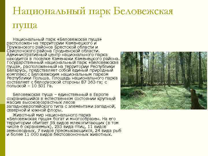 Национальный парк Беловежская пуща Национальный парк «Беловежская пуща» расположен на территории Каменецкого и Пружанского