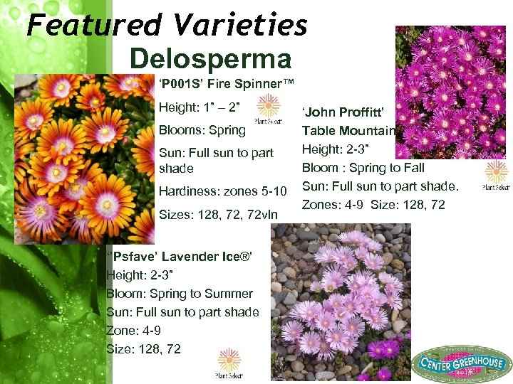 "Featured Varieties Delosperma 'P 001 S' Fire Spinner™ Height: 1"" – 2"" Blooms: Spring"