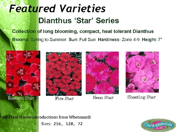 Featured Varieties Dianthus 'Star' Series Collection of long blooming, compact, heat tolerant Dianthus Blooms: