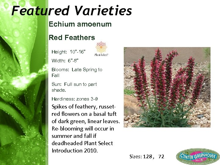 "Featured Varieties Echium amoenum Red Feathers Height: 10"" 16"" Width: 6"" 8"" Blooms: Late"