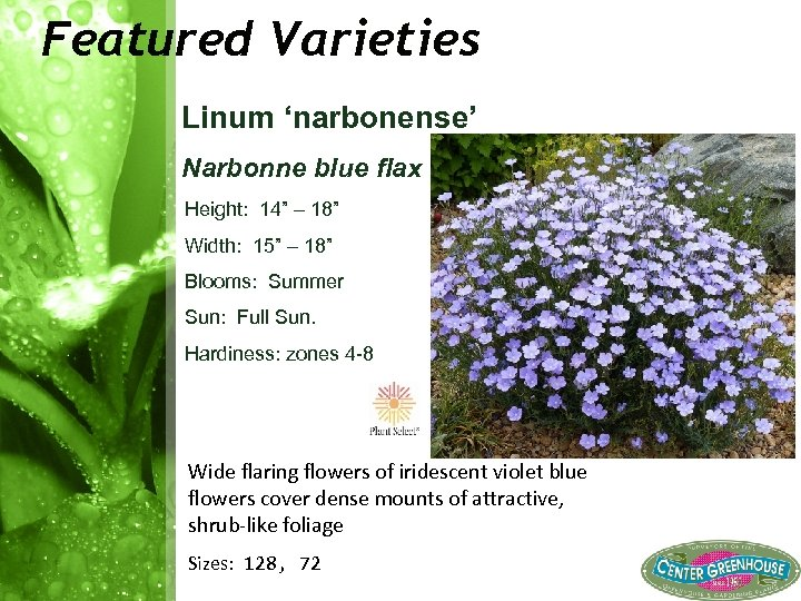 "Featured Varieties Linum 'narbonense' Narbonne blue flax Height: 14"" – 18"" Width: 15"" –"