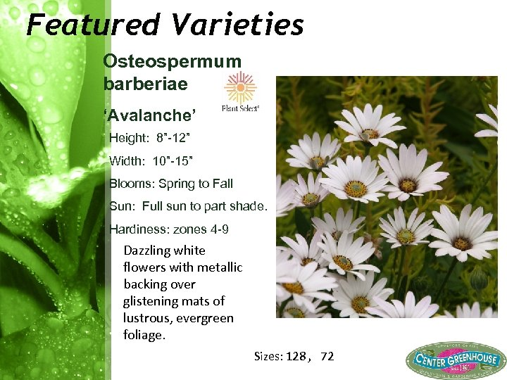 "Featured Varieties Osteospermum barberiae 'Avalanche' Height: 8"" 12"" Width: 10"" 15"" Blooms: Spring to"