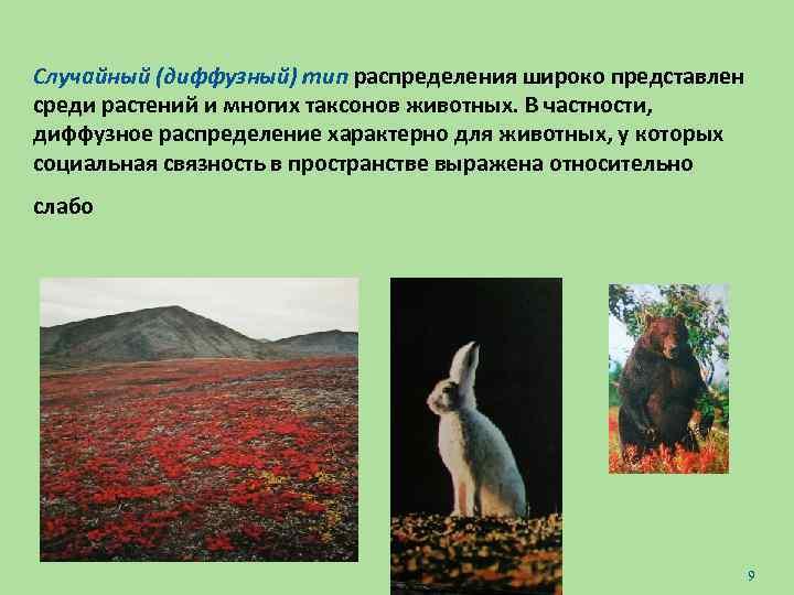 Случайный (диффузный) тип распределения широко представлен среди растений и многих таксонов животных. В частности,