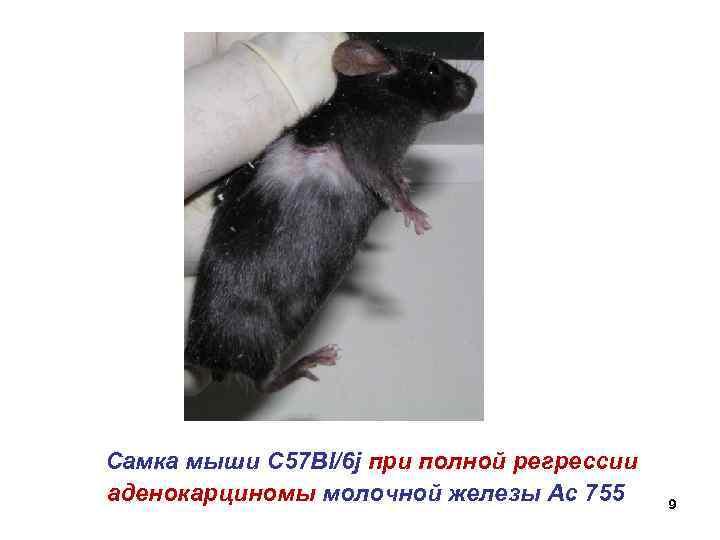 Самка мыши С 57 Bl/6 j при полной регрессии аденокарциномы молочной железы Ac 755