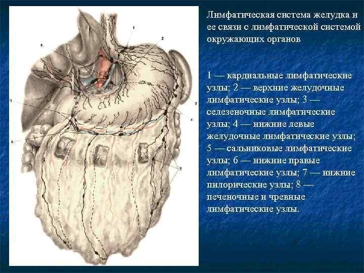 Лимфатическая система желудка и ее связи с лимфатической системой окружающих органов 1 — кардиальные