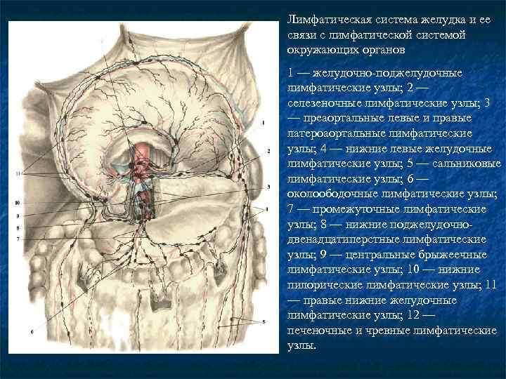 Лимфатическая система желудка и ее связи с лимфатической системой окружающих органов 1 — желудочно-поджелудочные