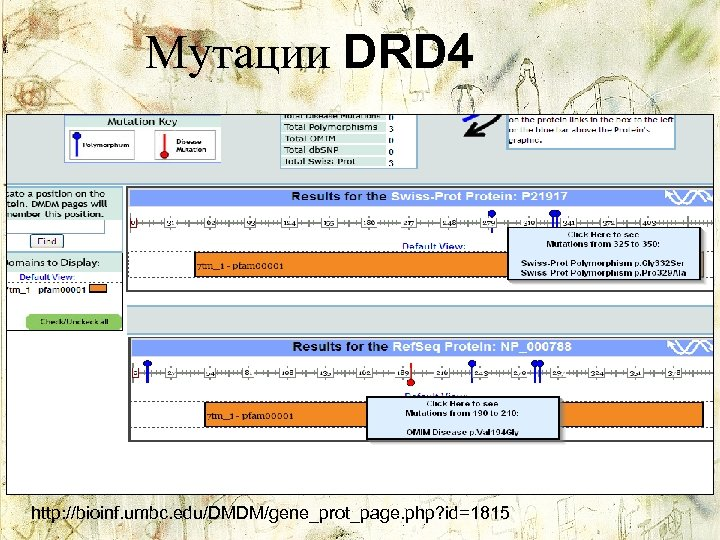 Мутации DRD 4 http: //bioinf. umbc. edu/DMDM/gene_prot_page. php? id=1815