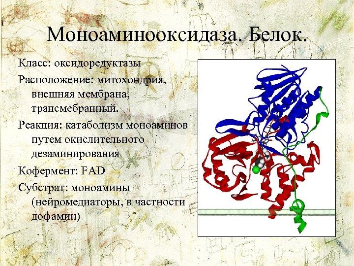 Моноаминооксидаза. Белок. Класс: оксидоредуктазы Расположение: митохондрия, внешняя мембрана, трансмебранный. Реакция: катаболизм моноаминов путем окислительного