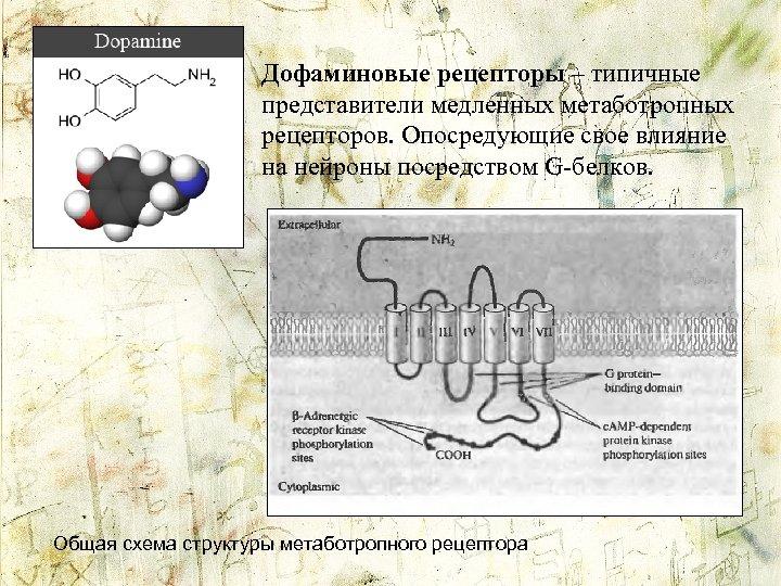 Дофаминовые рецепторы – типичные представители медленных метаботропных рецепторов. Опосредующие свое влияние на нейроны посредством