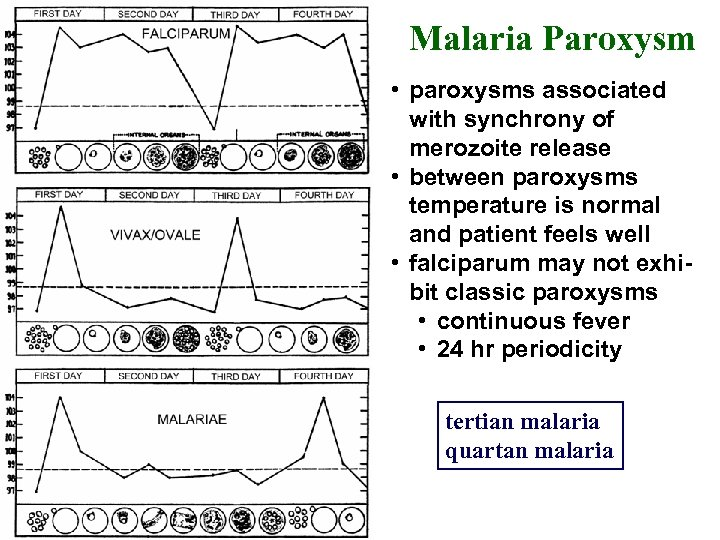 Malaria Paroxysm • paroxysms associated with synchrony of merozoite release • between paroxysms temperature