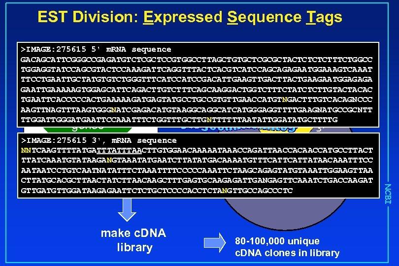 EST Division: Expressed Sequence Tags >IMAGE: 275615 5' m. RNA sequence GACAGCATTCGGGCCGAGATGTCTCGCTCCGTGGCCTTAGCTGTGCTCGCGCTACTCTTTCTGGCC TGGAGGTATCCAGCGTACTCCAAAGATTCAGGTTTACTCACGTCATCCAGCAGAGAATGGAAAGTCAAAT TTCCTGAATTGCTATGTGTCTGGGTTTCATCCGACATTGAAGTTGACTTACTGAAGAATGGAGAGA