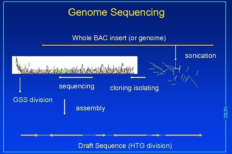 Genome Sequencing Whole BAC insert (or genome) sonication sequencing cloning isolating GSS division Draft