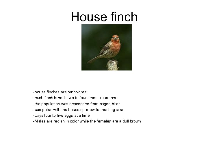 House finch -house finches are omnivores -each finch breeds two to four times a