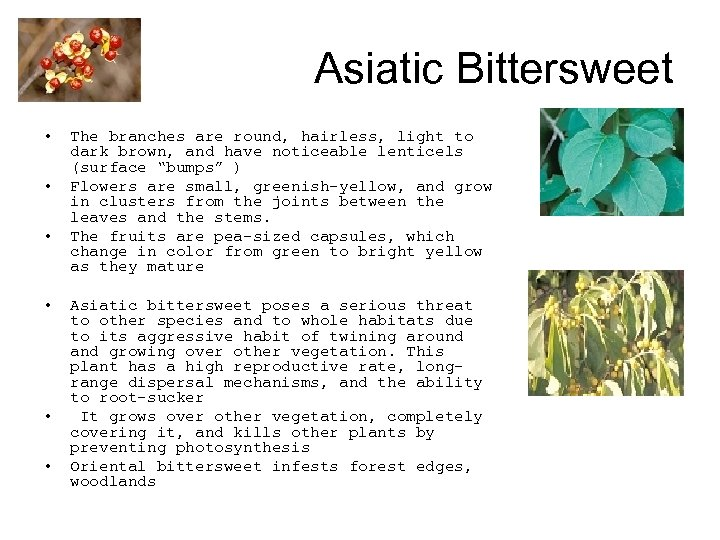 Asiatic Bittersweet • • • The branches are round, hairless, light to dark brown,