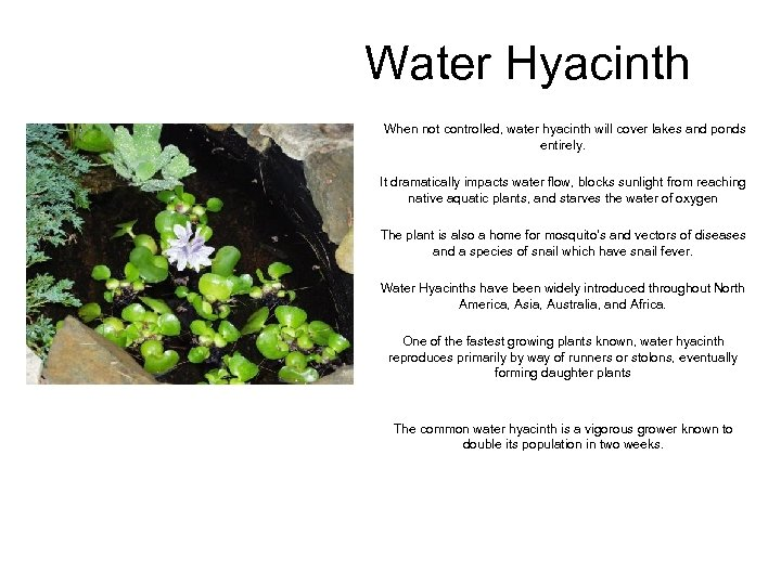 Water Hyacinth When not controlled, water hyacinth will cover lakes and ponds entirely. It