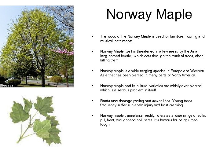 Norway Maple • The wood of the Norway Maple is used for furniture, flooring