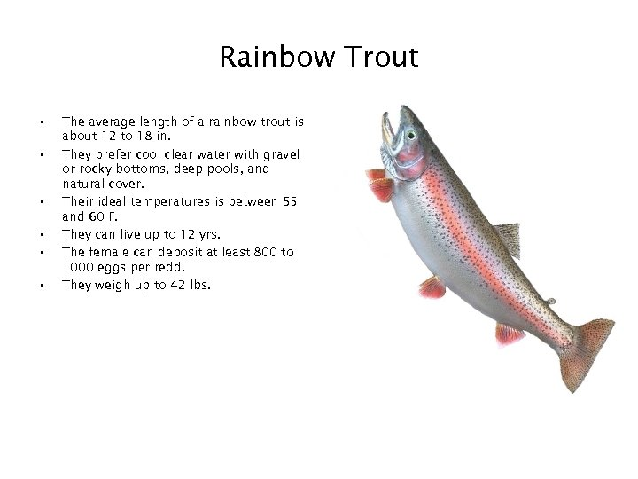 Rainbow Trout • • • The average length of a rainbow trout is about