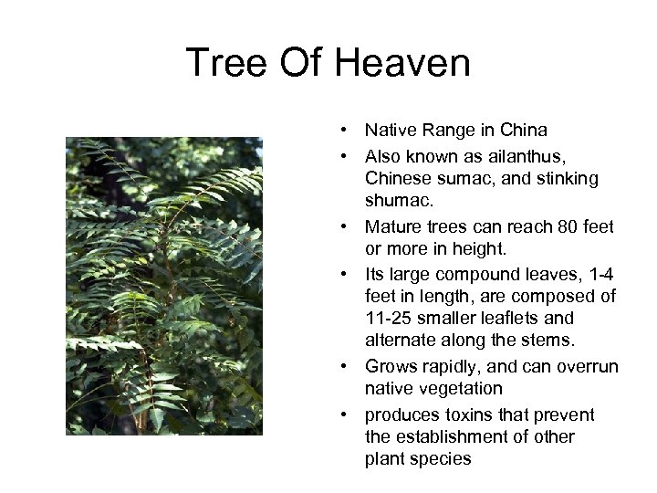 Tree Of Heaven • Native Range in China • Also known as ailanthus, Chinese