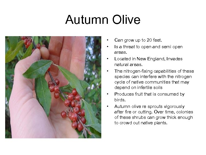 Autumn Olive • • • Can grow up to 20 feet. Is a threat