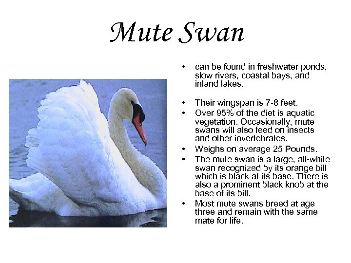 Mute Swan • can be found in freshwater ponds, slow rivers, coastal bays, and