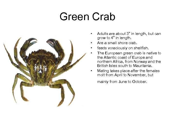"Green Crab • • • Adults are about 3"" in length, but can grow"