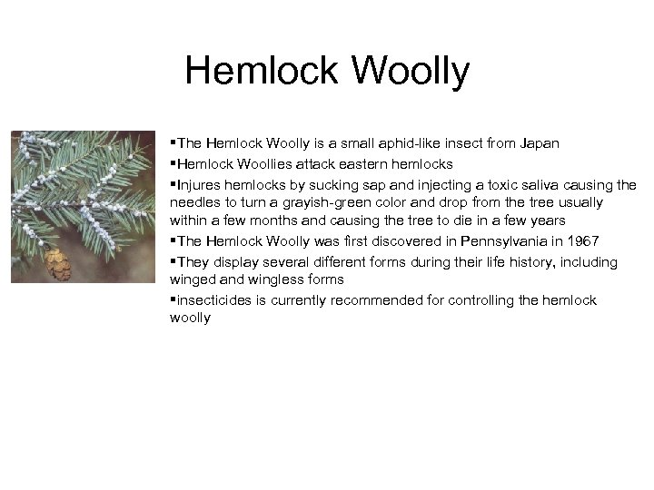 Hemlock Woolly §The Hemlock Woolly is a small aphid-like insect from Japan §Hemlock Woollies