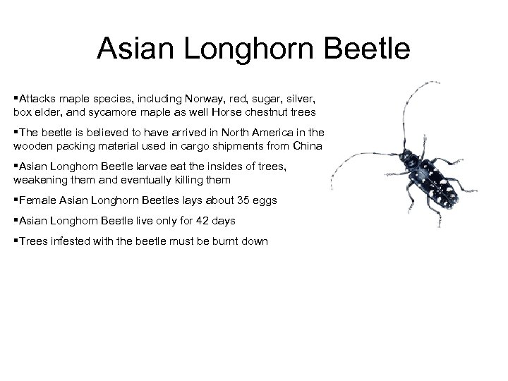 Asian Longhorn Beetle §Attacks maple species, including Norway, red, sugar, silver, box elder, and