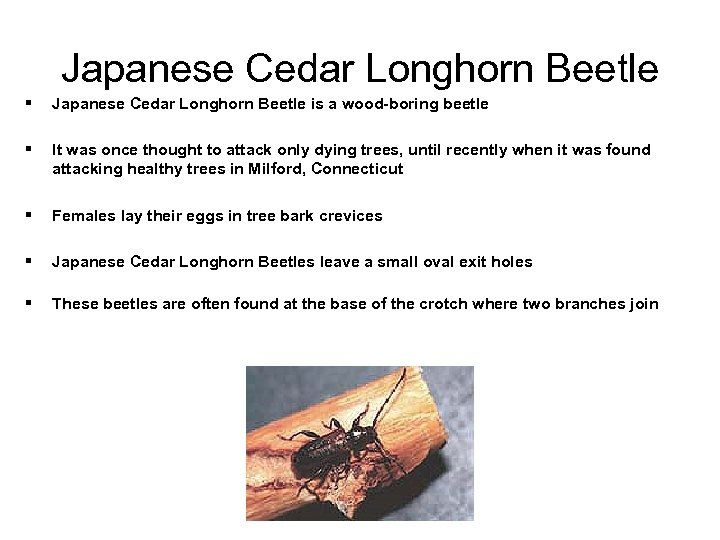 Japanese Cedar Longhorn Beetle § Japanese Cedar Longhorn Beetle is a wood-boring beetle §