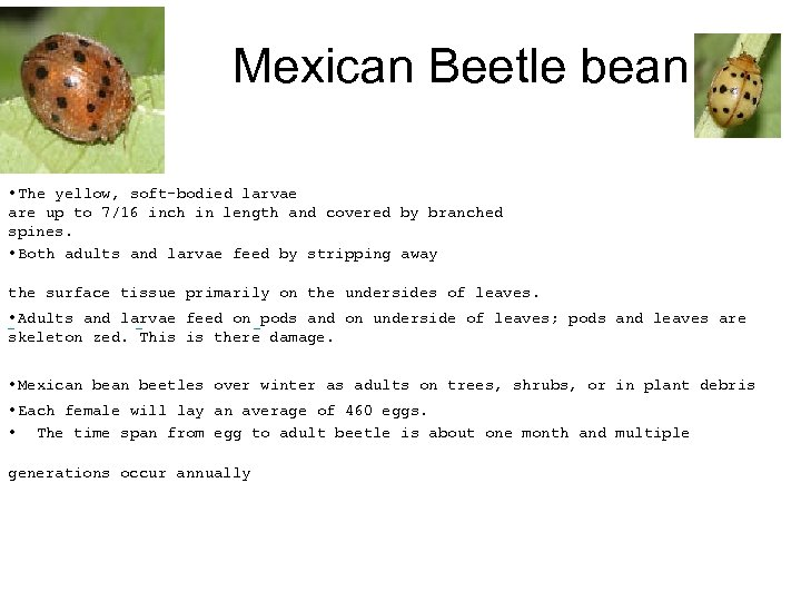 Mexican Beetle bean • The yellow, soft-bodied larvae are up to 7/16 inch in