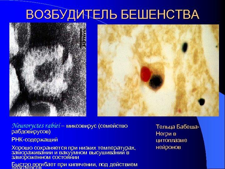 ВОЗБУДИТЕЛЬ БЕШЕНСТВА Neuroryctes rabiei – миксовирус (семейство рабдовирусов) РНК-содержащий Хорошо сохраняется при низких температурах,