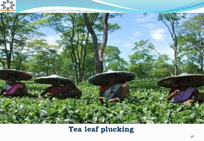 Tea leaf plucking 58