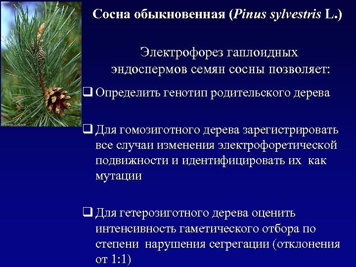 Сосна обыкновенная (Pinus sylvestris L. ) Электрофорез гаплоидных эндоспермов семян сосны позволяет: q Определить