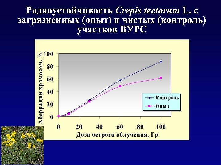 Радиоустойчивость Crepis tectorum L. с загрязненных (опыт) и чистых (контроль) участков ВУРС