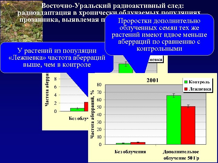 Восточно-Уральский радиоактивный след: радиоадаптация в хронически облучаемых популяциях прозанника, выявлемая при дополнительном облучении Проростки