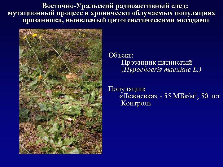 Восточно-Уральский радиоактивный след: мутационный процесс в хронически облучаемых популяциях прозанника, выявлемый цитогенетическими методами Объект: