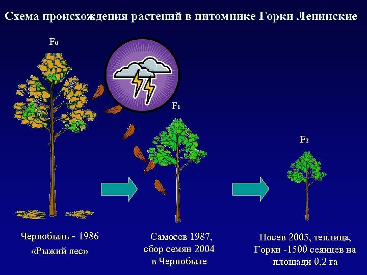 Схема происхождения растений в питомнике Горки Ленинские F 0 F 1 F 2 Чернобыль