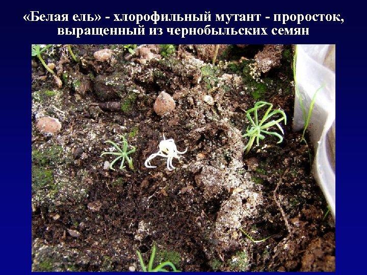 «Белая ель» - хлорофильный мутант - проросток, выращенный из чернобыльских семян