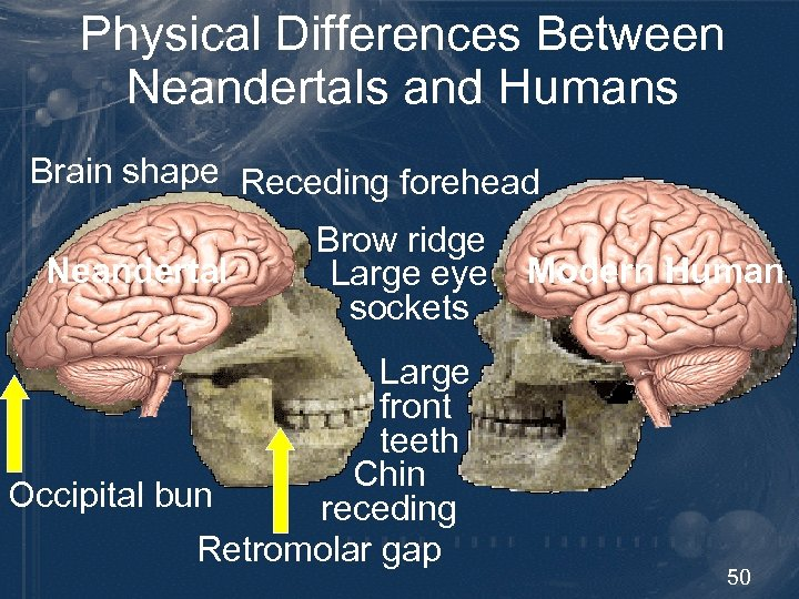 Physical Differences Between Neandertals and Humans Brain shape Receding forehead Neandertal Brow ridge Large