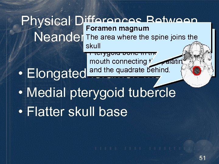 Physical Differences Between Foramen magnum Pterygoid tubercle The area where the spine joins the