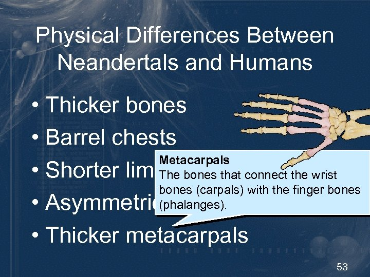 Physical Differences Between Neandertals and Humans • Thicker bones • Barrel chests Metacarpals •