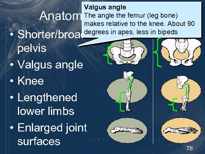 Valgus angle The angle the femur (leg bone) makes relative to the knee. About