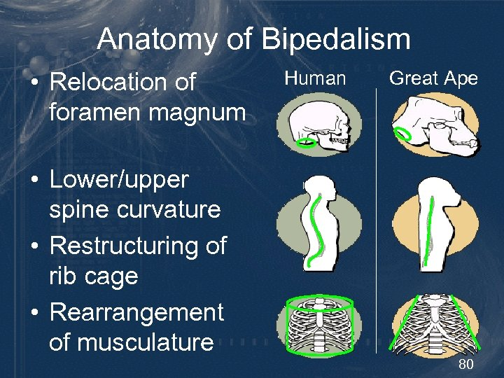 Anatomy of Bipedalism • Relocation of foramen magnum Human Great Ape • Lower/upper spine