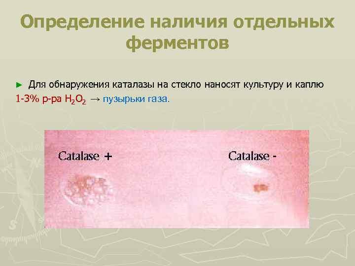 Определение наличия отдельных ферментов Для обнаружения каталазы на стекло наносят культуру и каплю 1