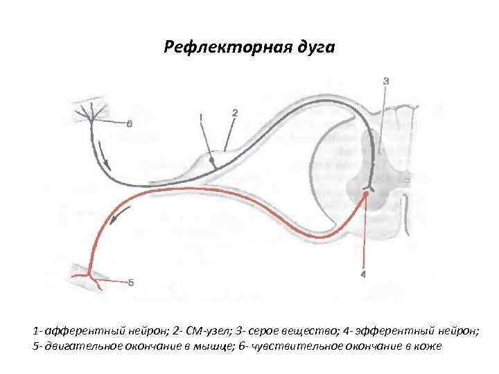 Рефлекторная дуга 1 - афферентный нейрон; 2 - СМ-узел; 3 - серое вещество; 4