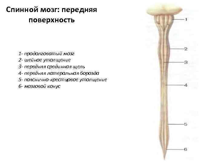 Спинной мозг: передняя поверхность 1 - продолговатый мозг 2 - шейное утолщение 3 -