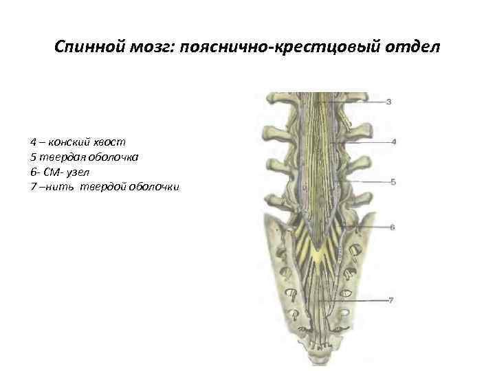 Спинной мозг: пояснично-крестцовый отдел 4 – конский хвост 5 твердая оболочка 6 - СМ-