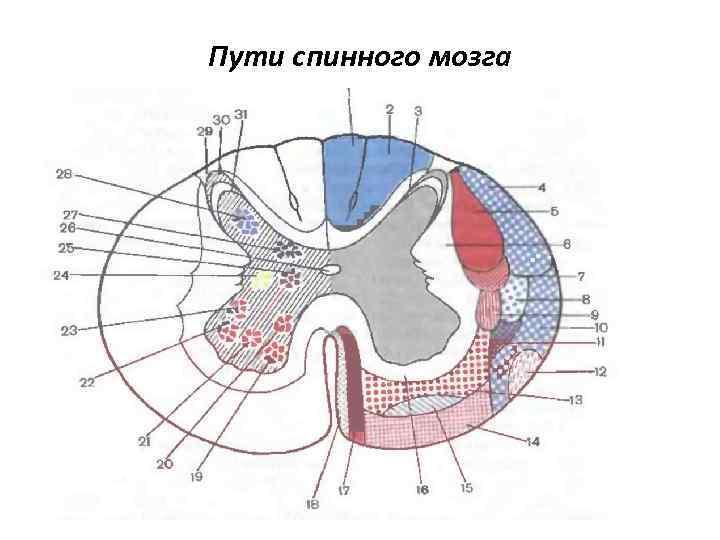 Пути спинного мозга