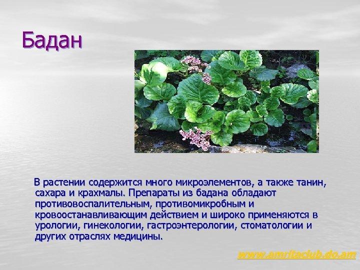 Бадан В растении содержится много микроэлементов, а также танин, сахара и крахмалы. Препараты из